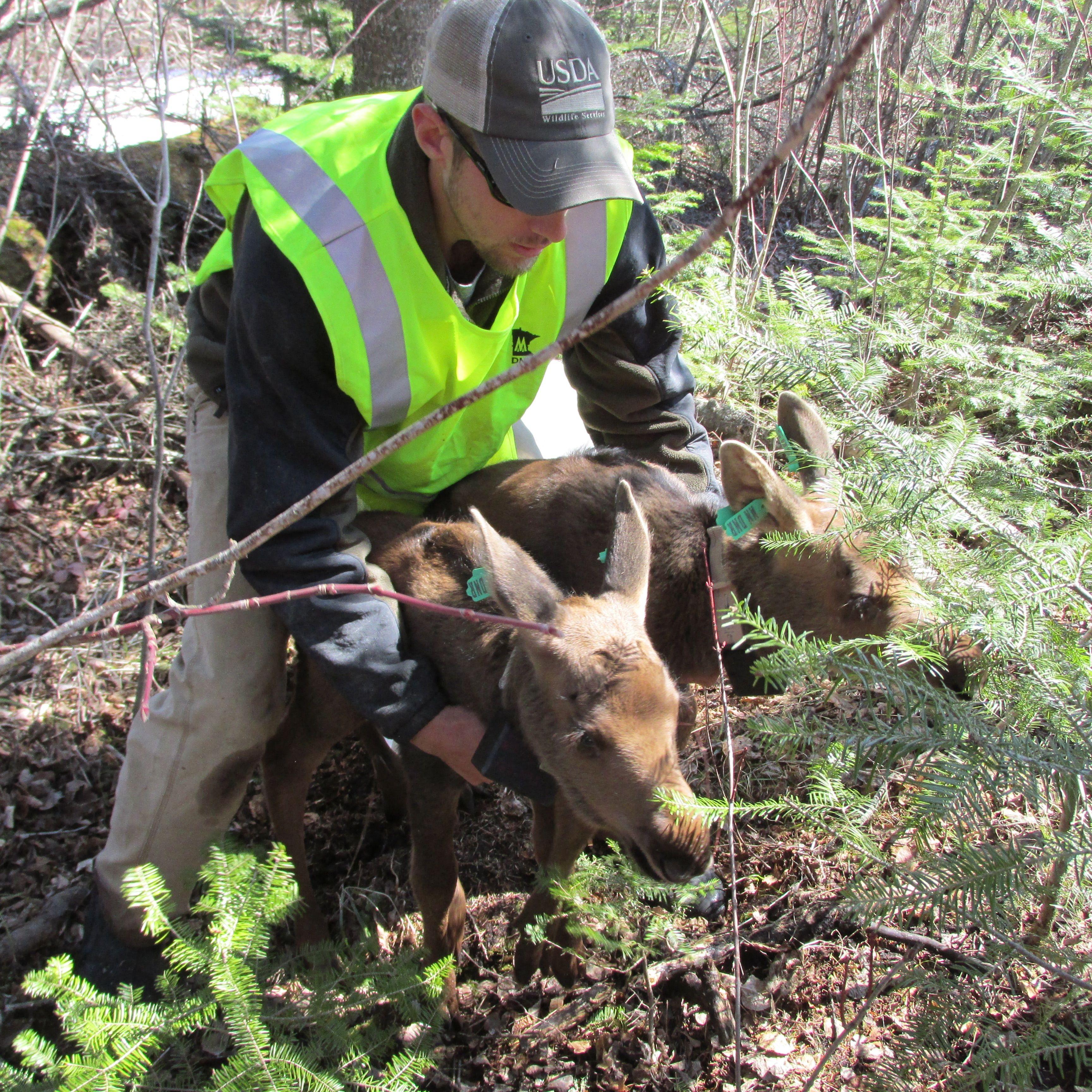 Calves, moose, MN DNR