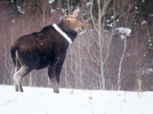 Collared moose