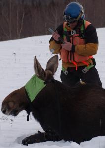 Moose Mortality Sample