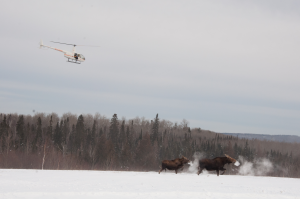 Moose survey hellicopter